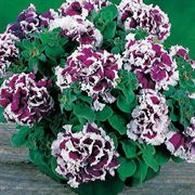 Purple Pirouette Petunia Flower Seeds