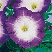 Merlin Blue Morn Hybrid Petunia Flower Seeds