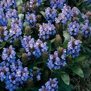 Freelander Blue Prunella Flower Seeds