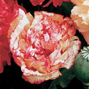 Parks Peony Flemish Antique Poppy Seeds