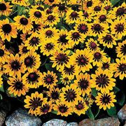 Spotlight® Rudbeckia Seeds
