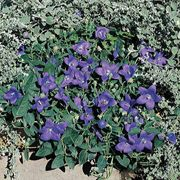 Astra Blue Hybrid Balloon Flower Seeds