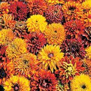 Cherokee Sunset Gloriosa Daisy Seeds