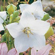 Astra White Balloon Flower Seeds