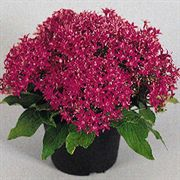 New Look Violet Pentas Seeds