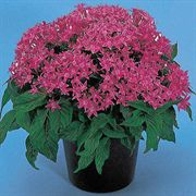 New Look Rose Pentas Seeds