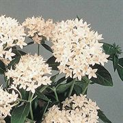 New Look White Pentas Seeds