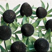 Green Wizard Rudbeckia Seeds