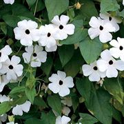 White-Eyed Susie Black-Eyed Susan Seeds