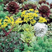 Rare Succulent Mix Seeds