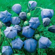Komachi Balloon Flower Seeds