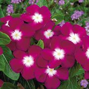 Pacifica Burgundy Halo Vinca Flower Seeds