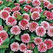 Swizzle Cherry and Ivory Zinnia Seeds