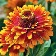 Zowie! Yellow Flame Zinnia Seeds