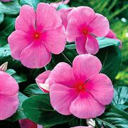 Pacifica Punch Hybrid Vinca Flower Seeds