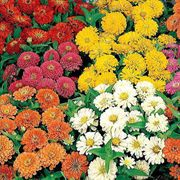 Dreamland Mix Hybrid Zinnia Seeds