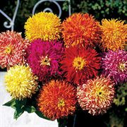 Giant Mix Zinnia Seeds