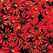 Red Spider Zinnia Seeds