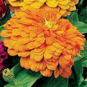 Parks Picks Coral Zinnia Seeds
