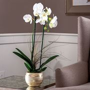 Moth Orchid in Metallic Cachepot
