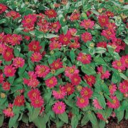 Profusion Cherry Zinnia Seeds