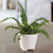 Boston Fern Houseplant
