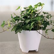 English Ivy Houseplant image