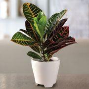 Croton Houseplant Thumb