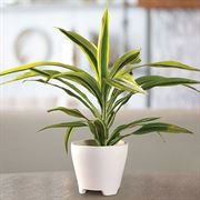Dracaena Lemon Lime Houseplant image