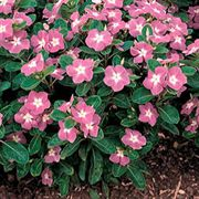 Stardust Rose Vinca Flower Seeds
