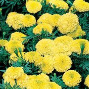 Antigua Yellow Hybrid Marigold Seeds