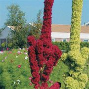 Towers Red Amaranthus Seeds