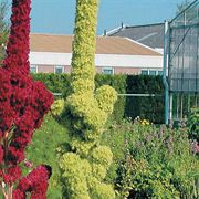 Towers Green Amaranthus Seeds