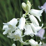 Spanish Bluebell White- Pack of 20