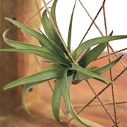 ToTilly Floating Air Plant Alternate Image 2
