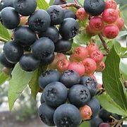 Vaccinium 'Nocturne' Blueberry Alternate Image 1