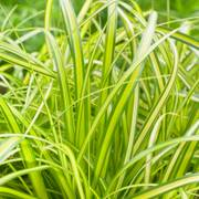 EverColor® 'Eversheen' Japanese sedge image