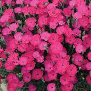 Dianthus 'Paint the Town Magenta' Alternate Image 1