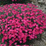 Dianthus 'Paint the Town Magenta' Alternate Image 2
