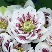 Helleborus Wedding Party™ 'Confetti Cake' image