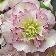 Helleborus Wedding Party® 'Flower Girl' image