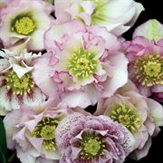 Helleborus Wedding Party® 'Flower Girl' Alternate Image 1