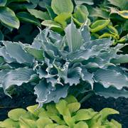 Hosta Shadowland® Waterslide