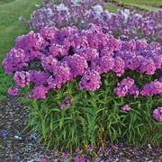 Phlox Fashionably Early Flamingo
