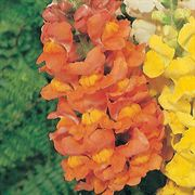 Rocket Bronze Hybrid Snapdragon Seeds