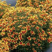 Coreopsis Honeybunch™ Red & Gold
