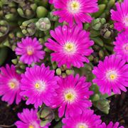 Jewel of Desert Opal Iceplant