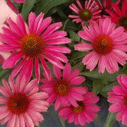 Kismet™ Raspberry Echinacea
