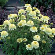 Puff Vanilla Echinacea