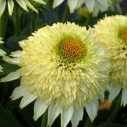 Echinacea PUFF® Vanilla Alternate Image 1